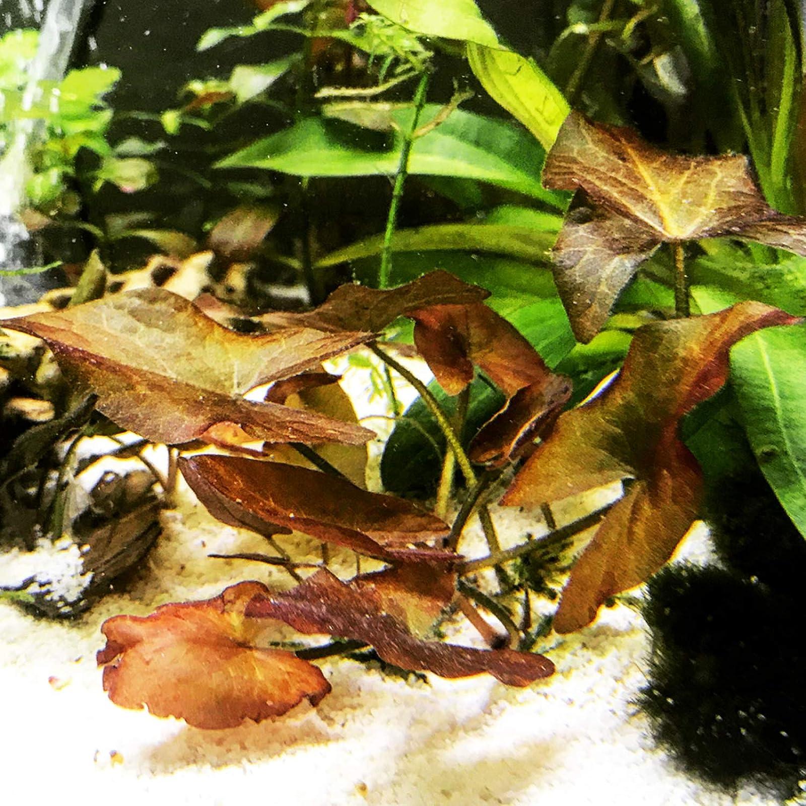 Mainam Nymphaea Rubra Bulb Dwarf Water Lily - 1