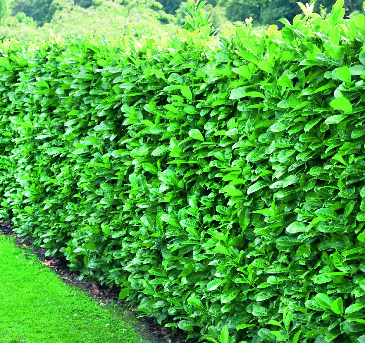 25 X PRUNUS /'ROTUNDIFOLIA/' CHERRY LAUREL EVERGREEN SHRUB GARDEN PLANT IN POT