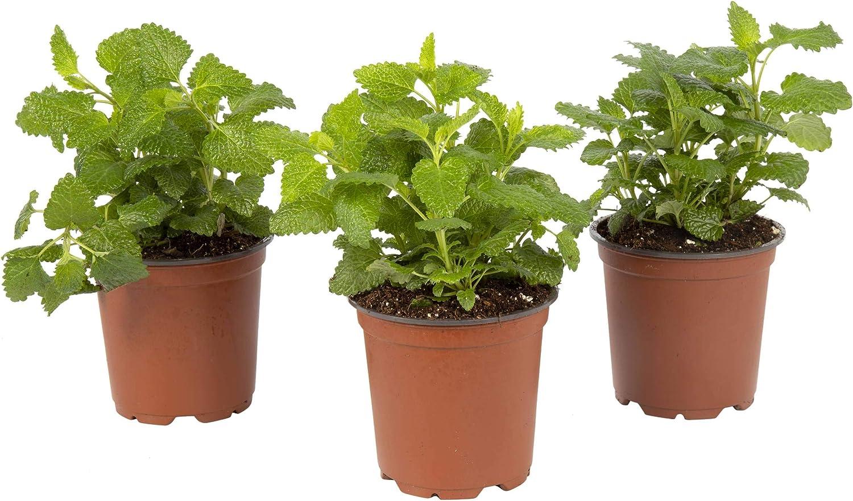 The Three Company Live Herb 4.5