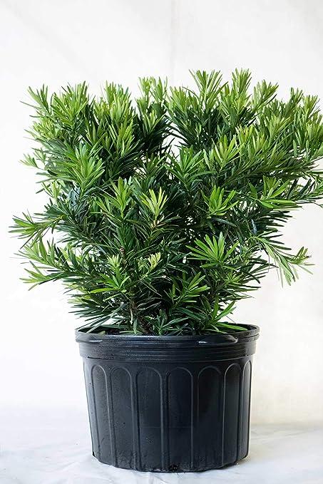Amazon Com Japanese Yew Pringles Dwarf Podocarpus Ornamental