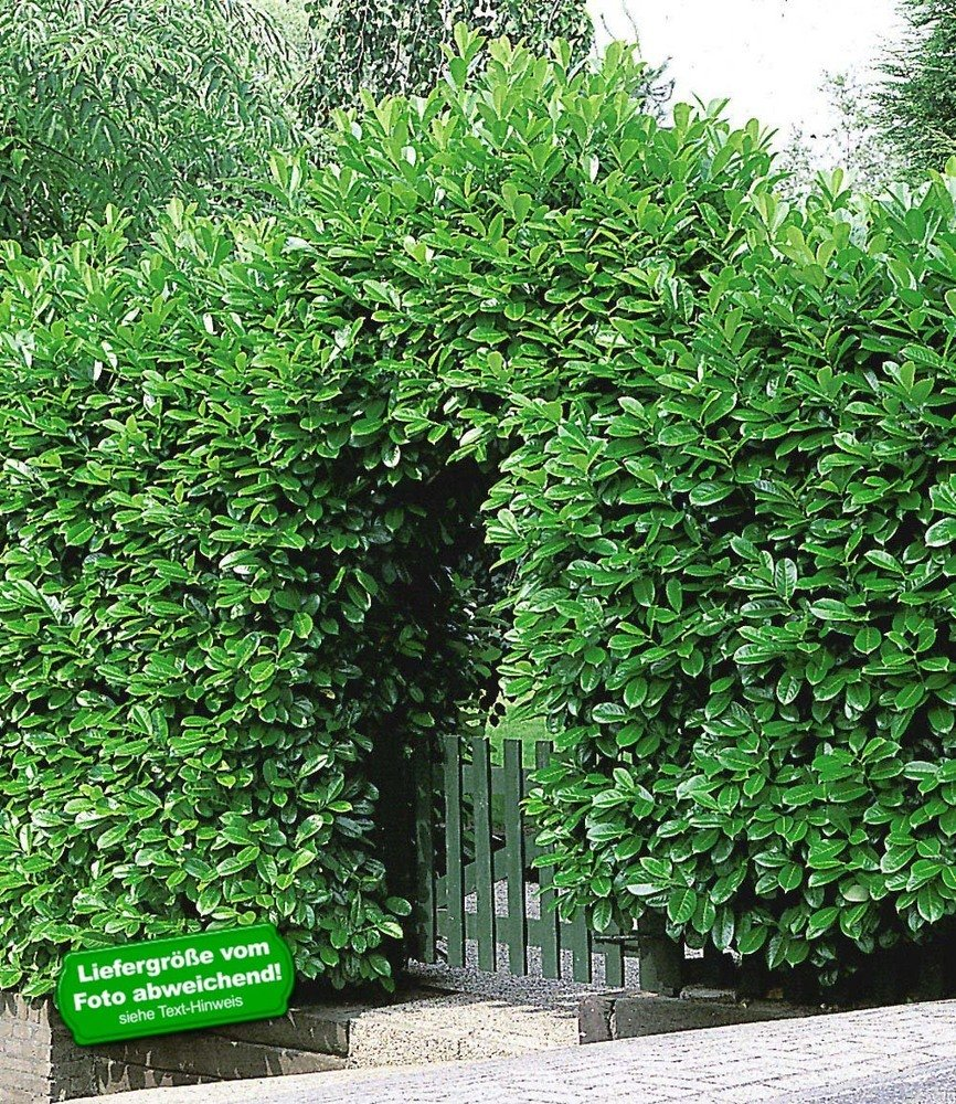BALDUR Garten Kirschlorbeer Hecke 1 Pflanze Prunus laurocerasus