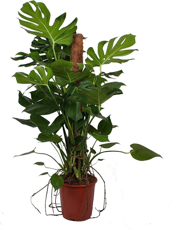 Planta de interior de Botanicly – Hoja de ventana – Altura: 120 cm ...
