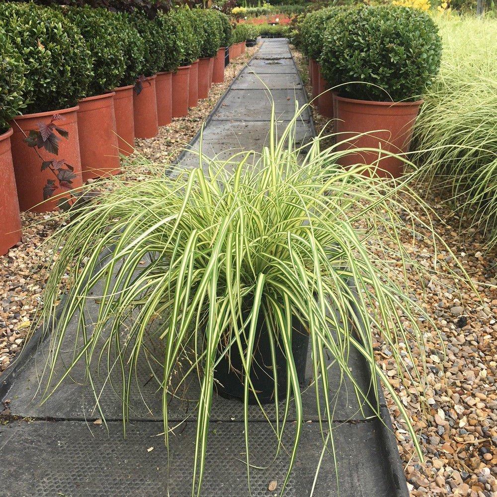 1  Evergreen  Carex Jenneke  Ornamental Grass  Garden Ready  in 9cm Pot