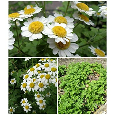 AchmadAnam - Seeds - Waterwise Feverfew, Seasonal Special 2 Pack : Garden & Outdoor