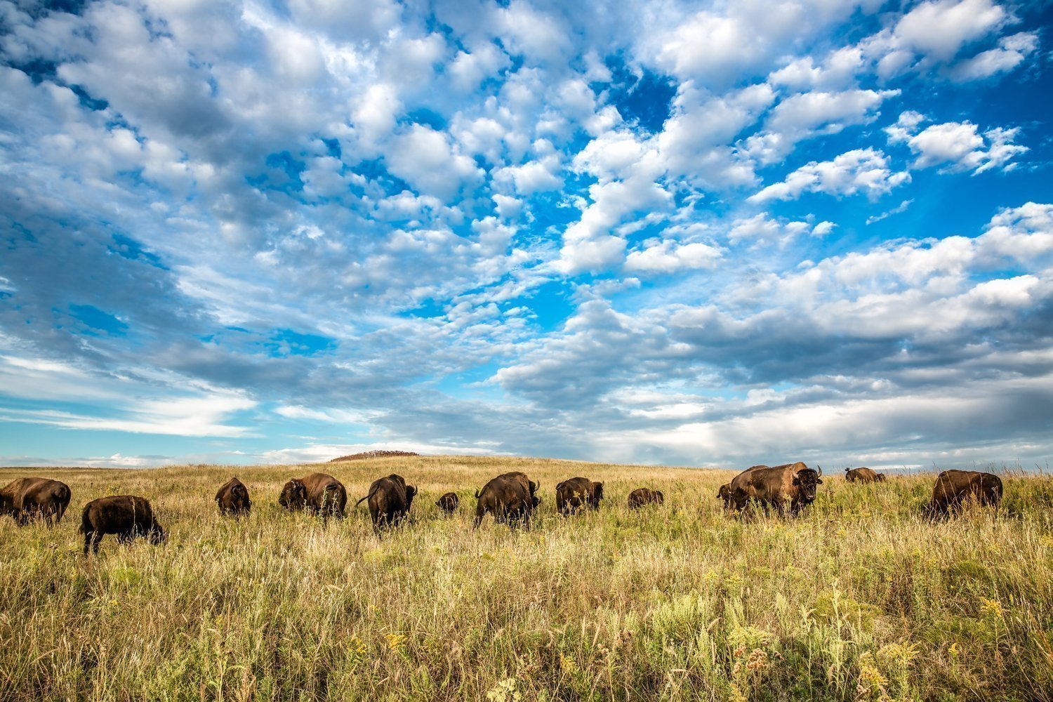 Bison Photography Wall Art Print - Picture of Herd of Buffalo Underneath Big Sky Western Home Decor 5x7 to 30x45 by Southern Plains Photography