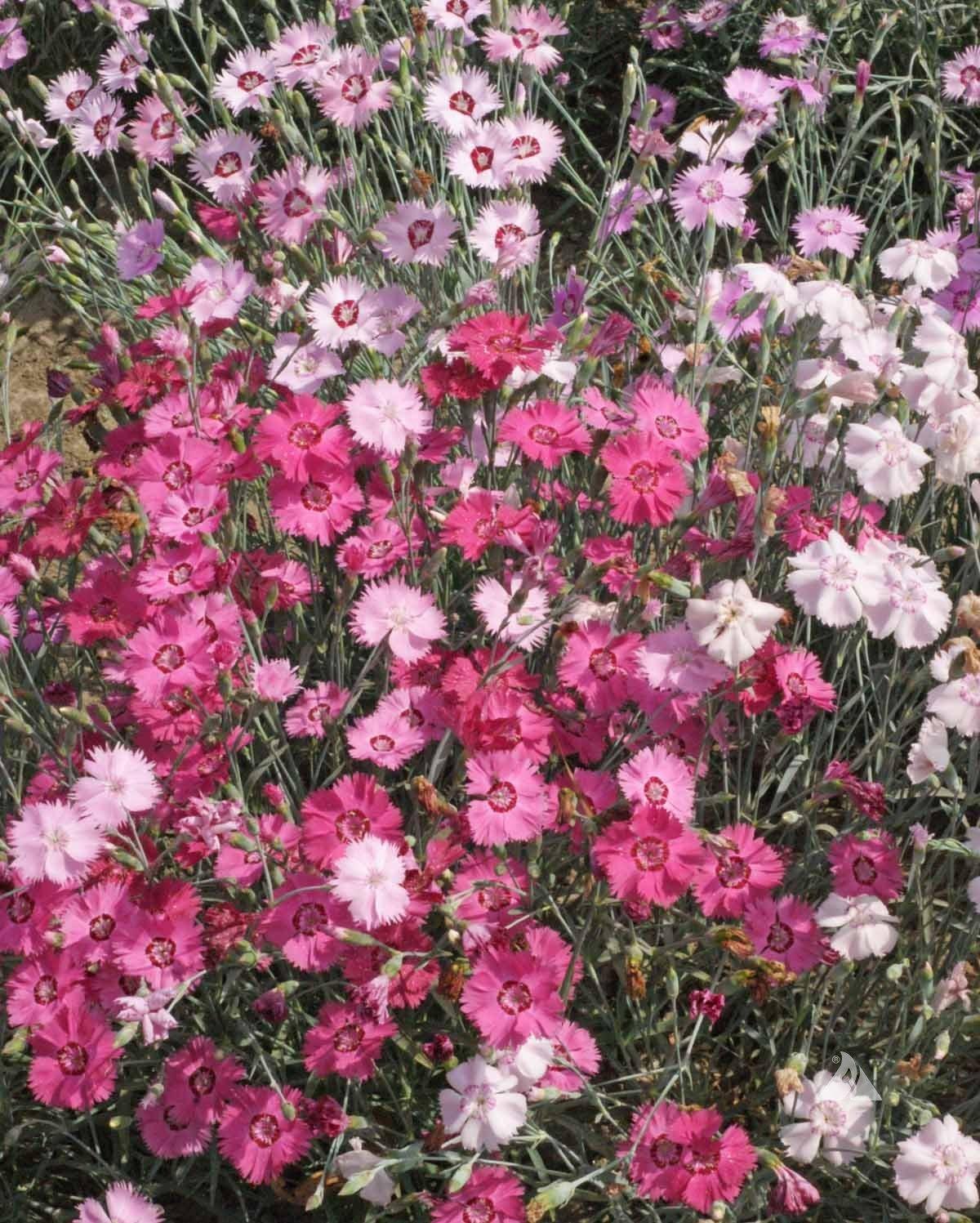 Amazon 200 Flower Seeds Dianthus Plumarius Cottage Pinks