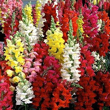 antirrhinum dragon flower italian 20 seeds amazon in garden outdoors