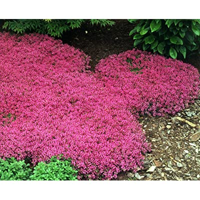100ct of Creeping Thyme Seeds Scarlet, Perennial Heirloom Groundcover Seeds, Hard : Garden & Outdoor