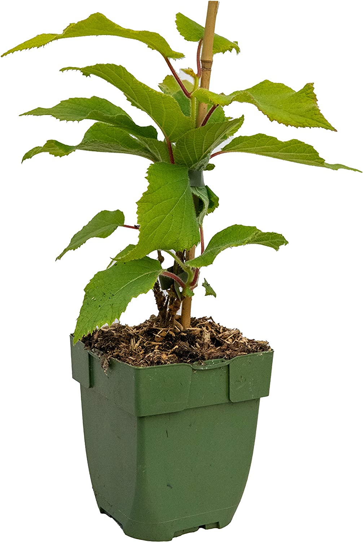 ca. 40cm hoch 13cm x 13cm Topf Sorte: Jenny Actinidia deliciosa selbstfruchtende Kiwi Pflanze, kr/äftige winterharte Pflanze,