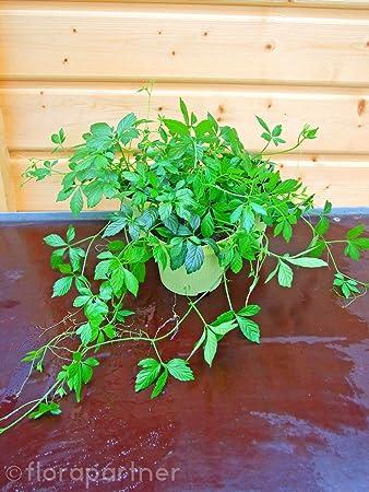 Asiatischer Ginseng Nahrungsmittel ca.50 Samen Jiaogulan Ginseng