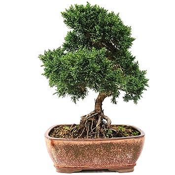 Enebro chino, Juniperus chinensis, bonsái para exterior, 19 años, altura 27 cm