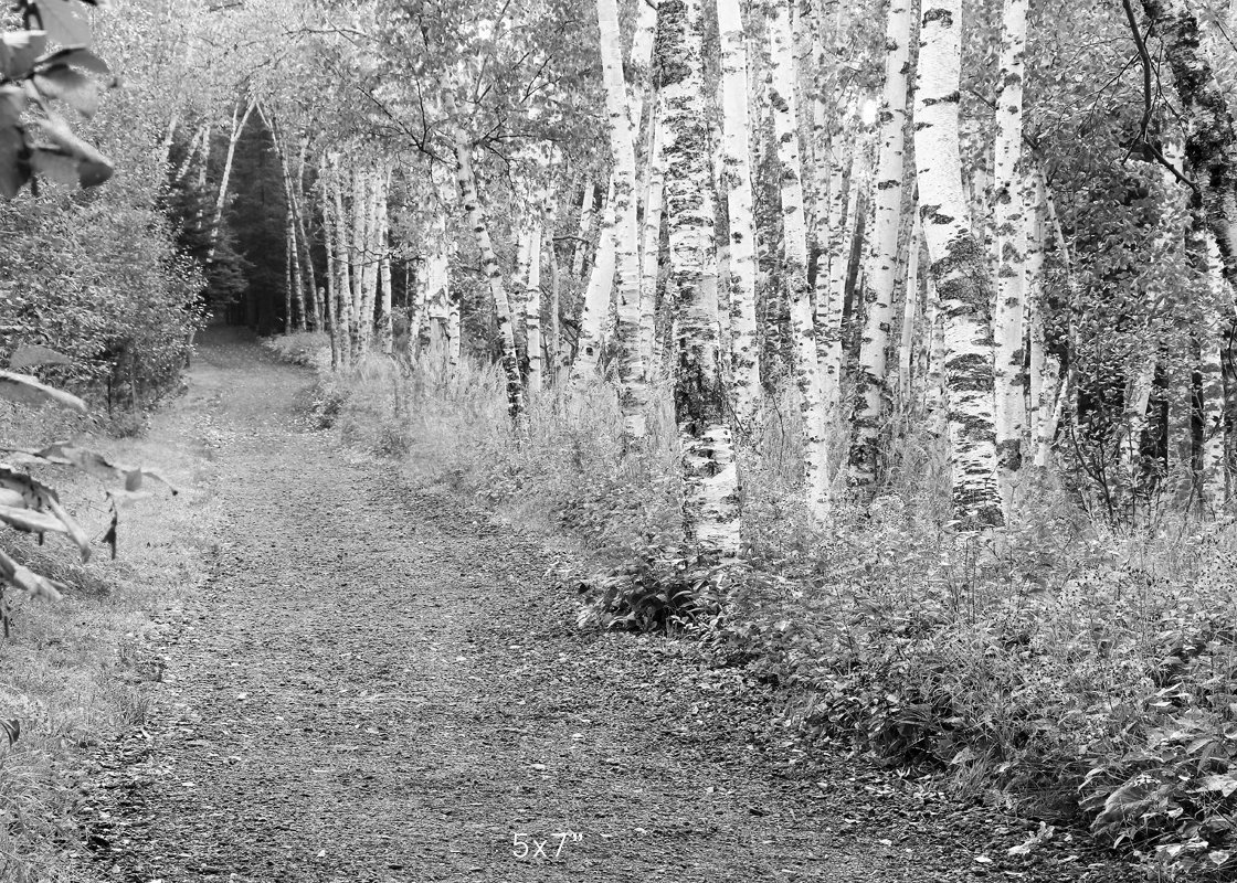 Birch Trees print black and white art, photo paper or canvas picture, 5x7 to 30x45 inches large wall décor