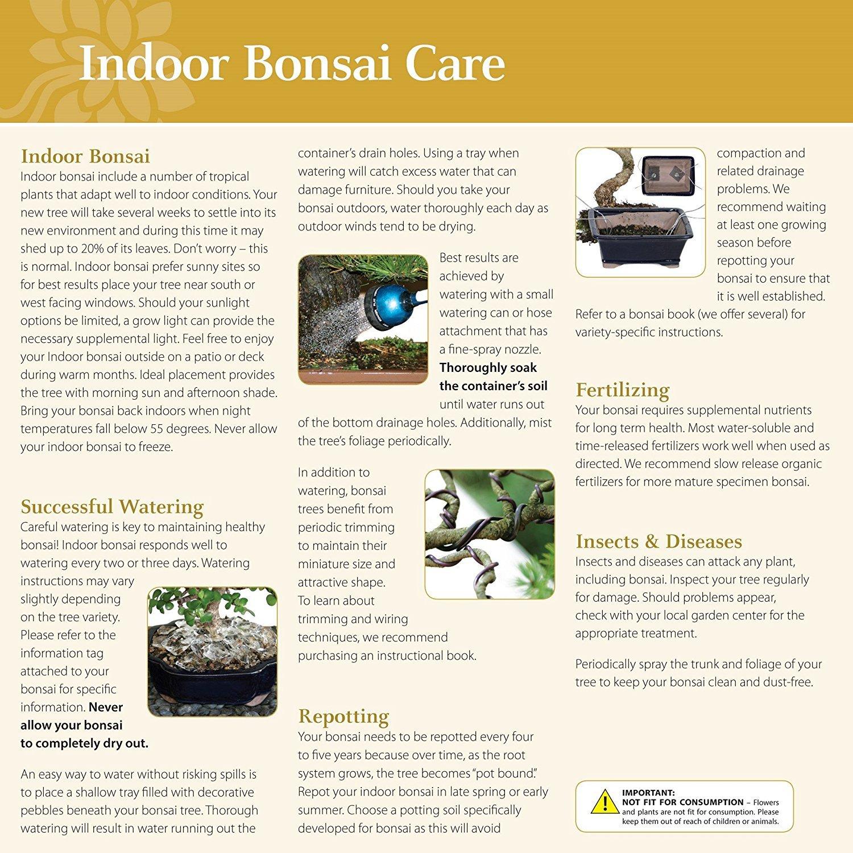 Fine Amazon Com Brussels Live Golden Gate Ficus Indoor Bonsai Tree 4 Wiring 101 Carnhateforg