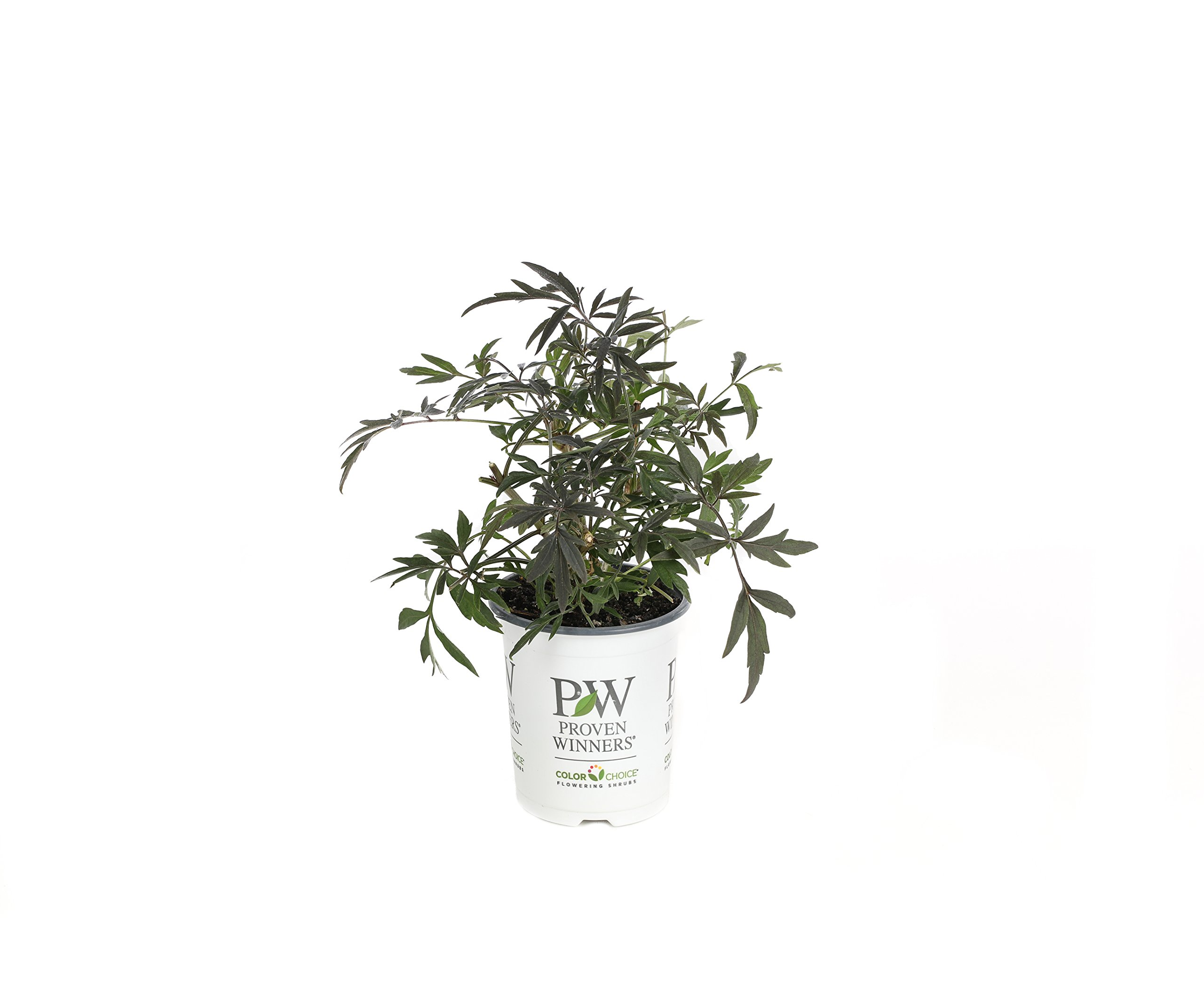 Black Lace Elderberry (Sambucus) Live Shrub, Pink Flowers, 4.5 in. Quart