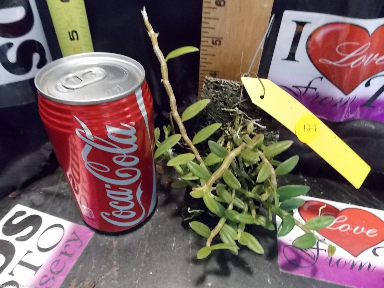 Dendrobium loddigesii- Hard to find! Limited Stock! Collector's item! WoW! Orchid Plant