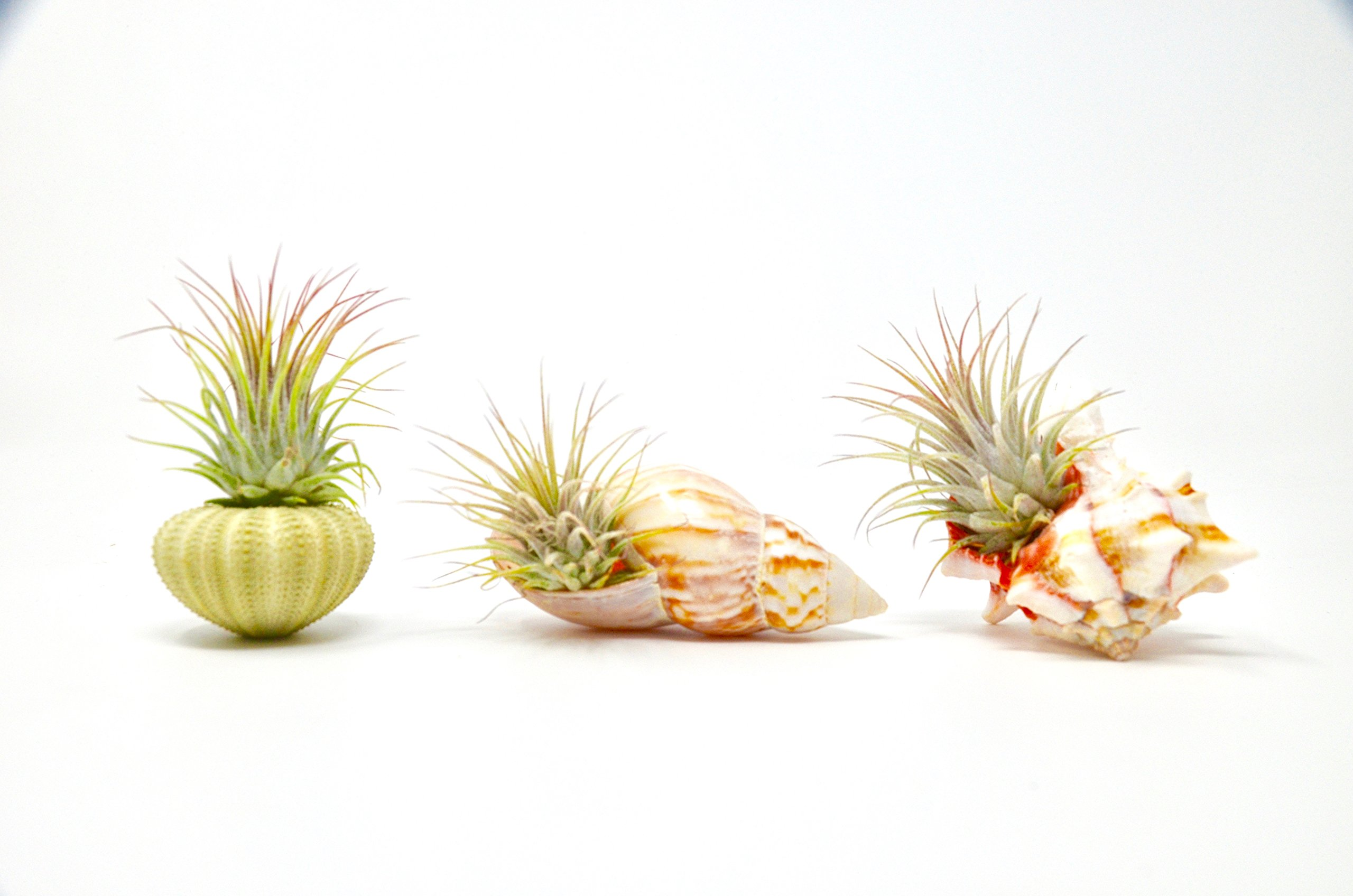 3 Piece Sea Urchin / Seashell Air Plant / Live Tillandsia Ionanthas / 3 Unique Seashells / Home Decor / Gifts / Decoration