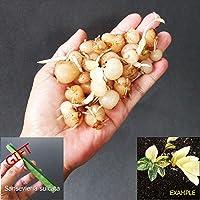 Organic Seeds: 4 Zamioculcas Zamiifolia Variegated + Free Gift by Farmerly