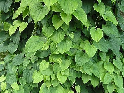 Amazon new dioscorea villosa wild yam 10 seeds perennial new dioscorea villosa wild yam 10 seeds perennial zones 3 6 mightylinksfo