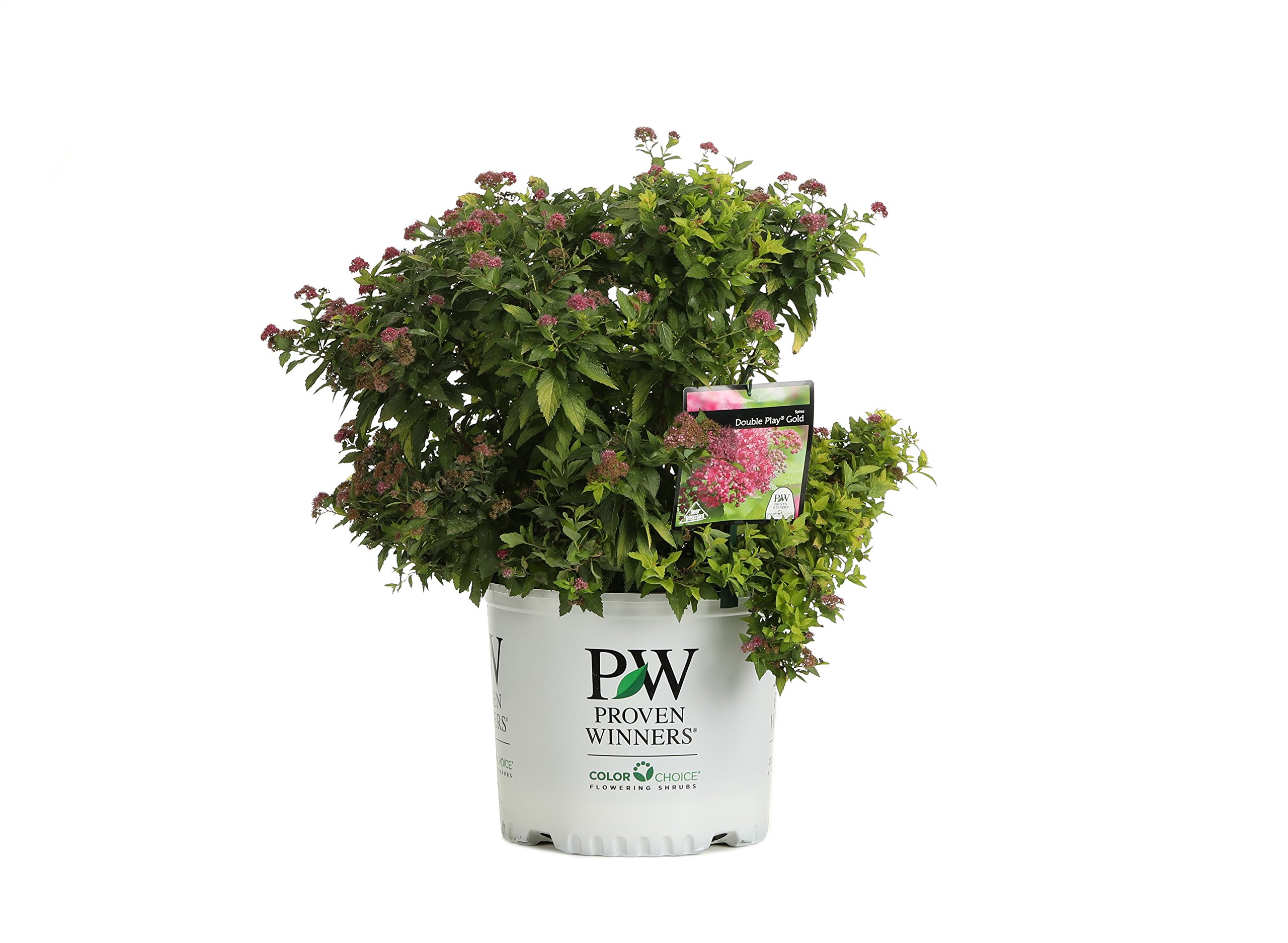 3 Gal. Double Play Gold Spirea (Spiraea) Live Shrub, Pink Flowers with Green and Yellow Foliage by Proven Winners