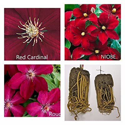 Red Cardinal Clematis Mix (3 Bare Root) Early, Large-Flowered Vine : Garden & Outdoor