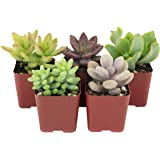 Shop Succulents | Soft Hue Collection | Assortment of Hand Selected, Fully Rooted Live Indoor Pastel Tone Succulent Plants, 5