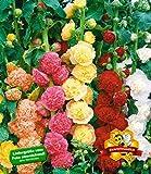 BALDUR-Garten Stockrosen-Malven-Mischung, 3 Pflanzen Alcea rosea 'Pleniflora'