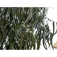 Eucalyptus globulus, eucalipto blanco, árbol de 50 semillas (Fast fragante hoja perenne)