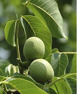 Black Walnut Tree JUGLANS NIGRA nut fruit wildlife food Autumn