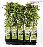 Blumen Senf Schling-Knöterich 60-70 cm - Fallopia aubertii - Sehr starkwüchsig, reichblühend