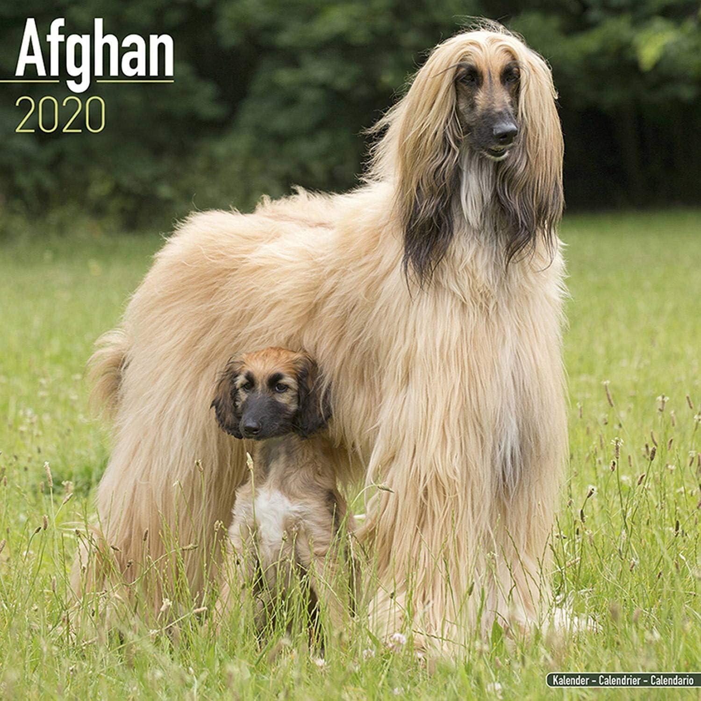 Wirehaired Dachshund Calendar 2020 Premium Dog Breed Calendars