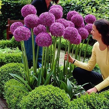 Attirant Adarl 25pc/Package Purple Allium Giganteum Seeds Ornamental Plants Seeds  Courtyard Garden With Flower Seeds