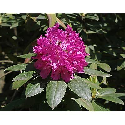 Rhododendron catawbiense CATAWBA RHODODENDRON Seeds! : Garden & Outdoor