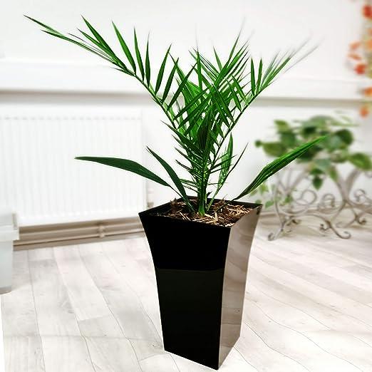 Easy Plants - Palmera de fénix grande en maceta Milano negra brillante, 75/85 cm de altura: Amazon.es: Jardín