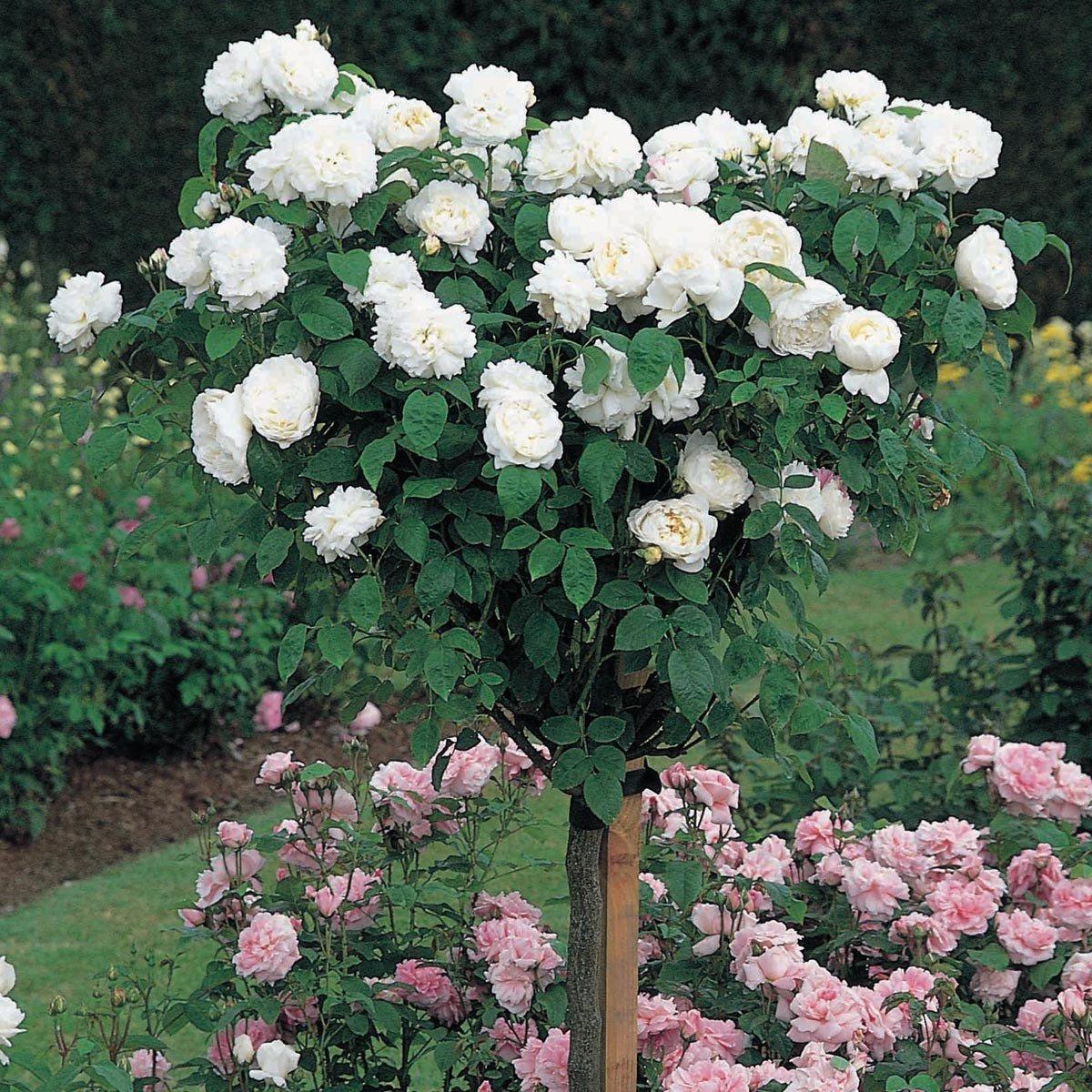 David Austin English Tree Rose: Winchester Cathedral by David Austin English Roses (Image #3)