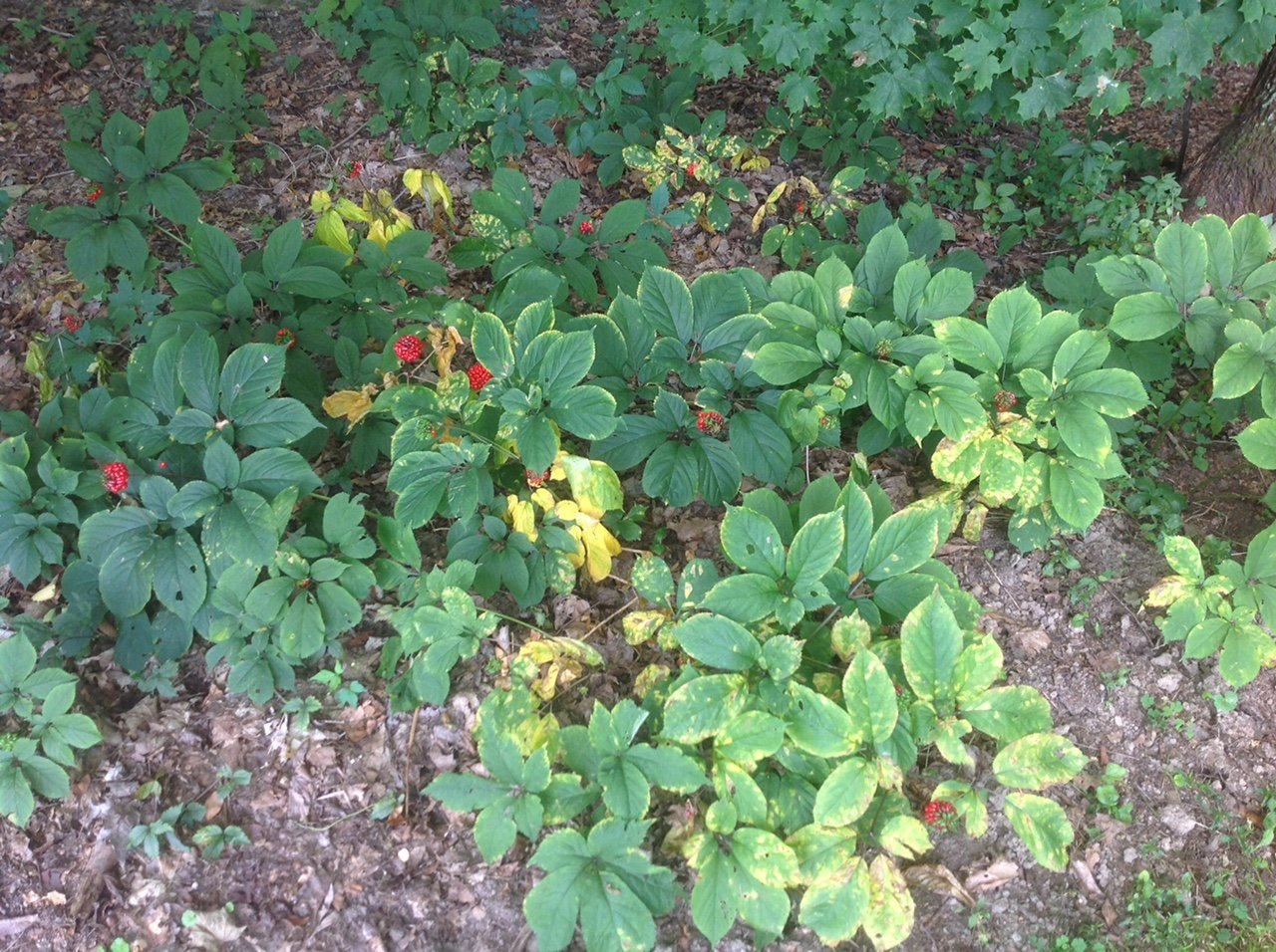 1000 American Ginseng Seeds-Stratisfied 2019 Ready to Plant Now by panax quinquefolius