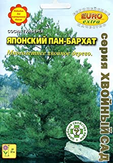 AGROBITS Pinus ergii Giapponese Pan Run GH QualitÃ