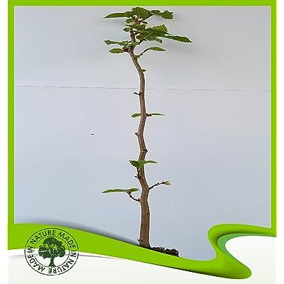 Corylus avellana (European Filbert) - Plant : Garden & Outdoor