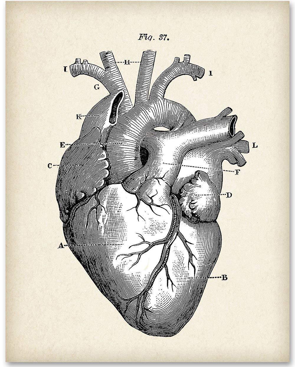 Amazon.com: Anatomical Heart - 11x14 Unframed Art Print - Makes a ...