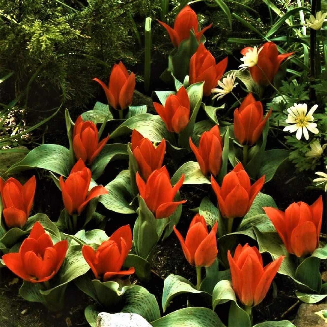 Shop Meeko 25 semillas: semillas - rocalla s belleza (25 semillas) de plantas: Amazon.es: Jardín