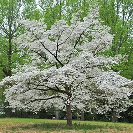 Amazon white flowering dogwood cornus florida cherokee white flowering dogwood cornus florida cherokee princess 20 seeds mightylinksfo