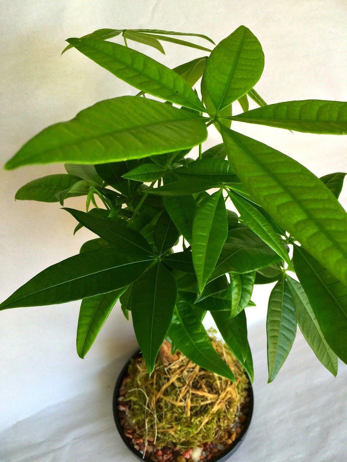 Kokedama - Pachira Janapese Money Tree Natural Moss Ball - Japan Bonsai Plant