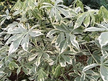 5 Inch 2-6 Stem Cuttings Rarest Yellow Verigated Tapioca Manihot Esculenta  Cassava