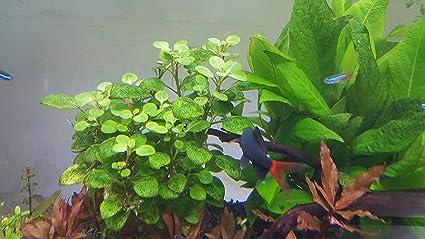 Amazoncom Pearlingplants Freshwater Live Aquarium Plants