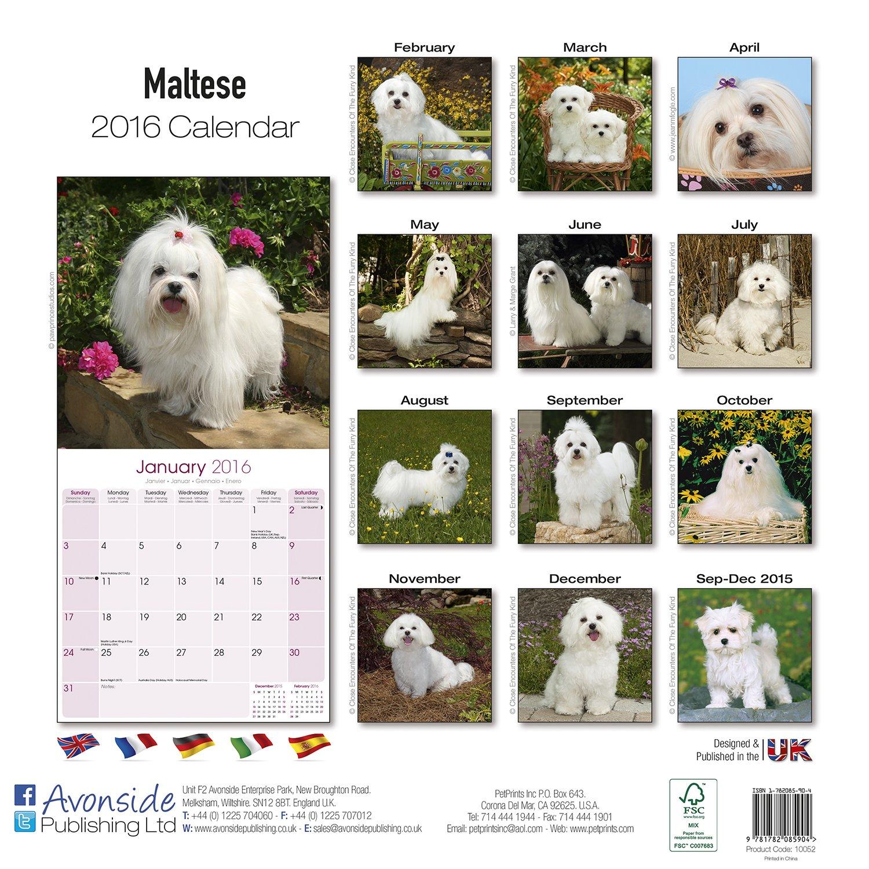 Maltese Calendar - Only Dog Breed Maltese Calendar - 2016 Wall calendars - Dog Calendars - Monthly Wall Calendar by Avonside by AVONSIDE (Image #2)