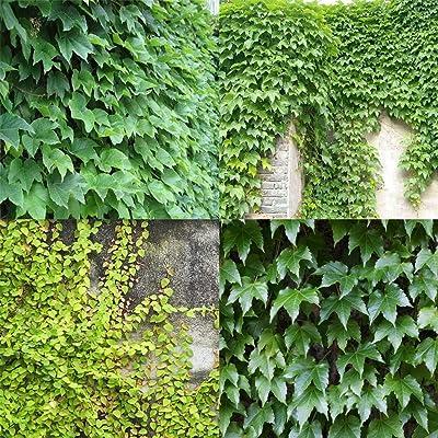 KOUYE GardenSeeds- 50 Climbing Ivy Seeds, Evergreen, Always Strong Climbing Plants Ivy Seeds Garden roof Plants Seed Hardy Perennial : Garden & Outdoor