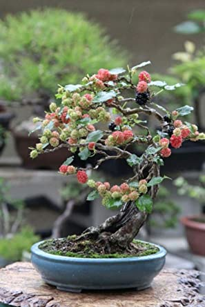 Hot Sale Bonsai Black Mulberry Tree Large Thick Trunk Fruit Bearing Indoor Bonsai Tree Amazon Com Grocery Gourmet Food