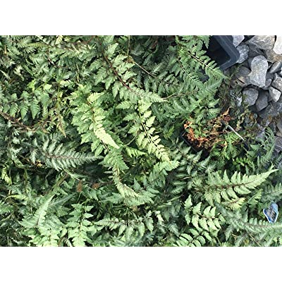 5 Rhizomes Christmas Fern Polystichum Acrostrichoides Herb Bulbs #FTP8 : Garden & Outdoor