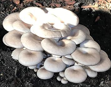 Oyster Mushroom Grain/sawdust Spawn: Amazon ca: Home & Kitchen