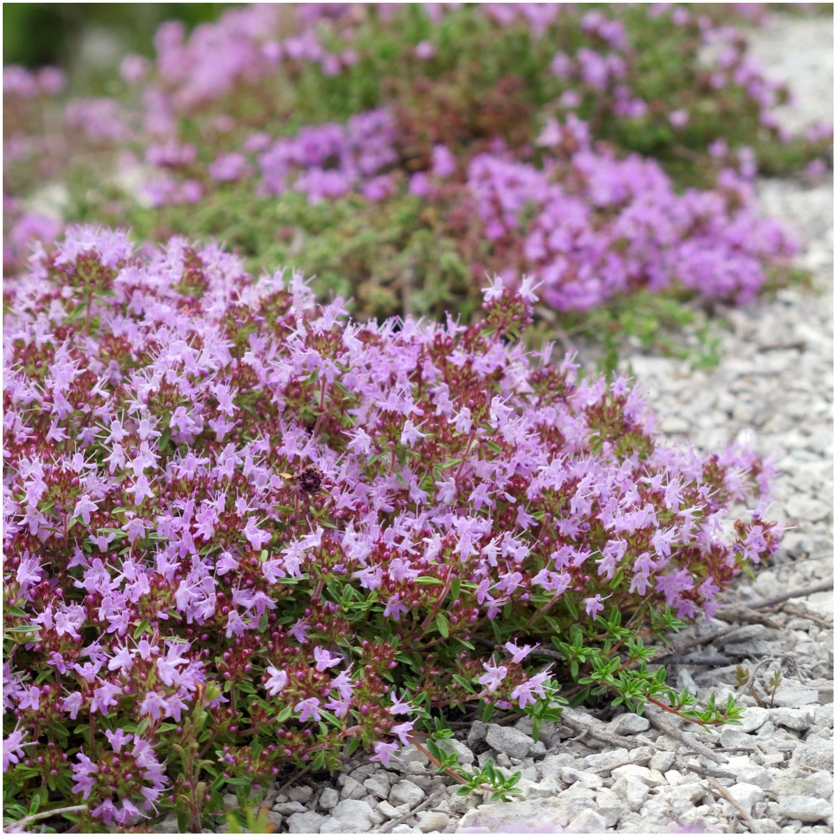 Amazon package of 20 000 seeds wild creeping thyme thymus amazon package of 20 000 seeds wild creeping thyme thymus serpyllum open pollinated seeds by seed needs plant seed and flower products garden izmirmasajfo