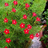 Afco 50 Pcs Cypress Vine Seeds Annual Climbing
